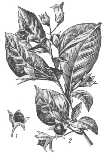 белладонна