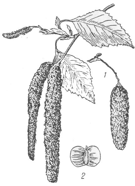 Береза: 1-ветка слистьями и цветками в сережках; 2-плод.