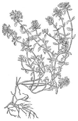 Чабрец, богородская трава » Медицинский справочник
