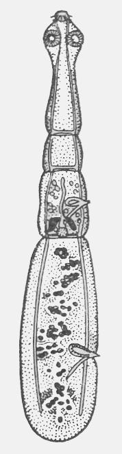 Рис. 1. Взрослый эхинококк (однокамерный)