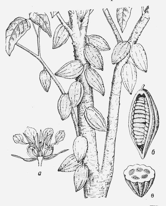 Какао: плоды на дереве; а — продольный разрез цветка; б — плод с частично удаленным око¬лоплодником; в — поперечный разрез плода.
