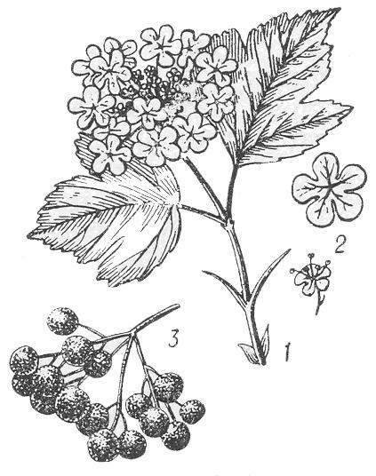 Калина обыкновенная: 1 — ветка с цветками; 2 — цветок; 3 — плоды.
