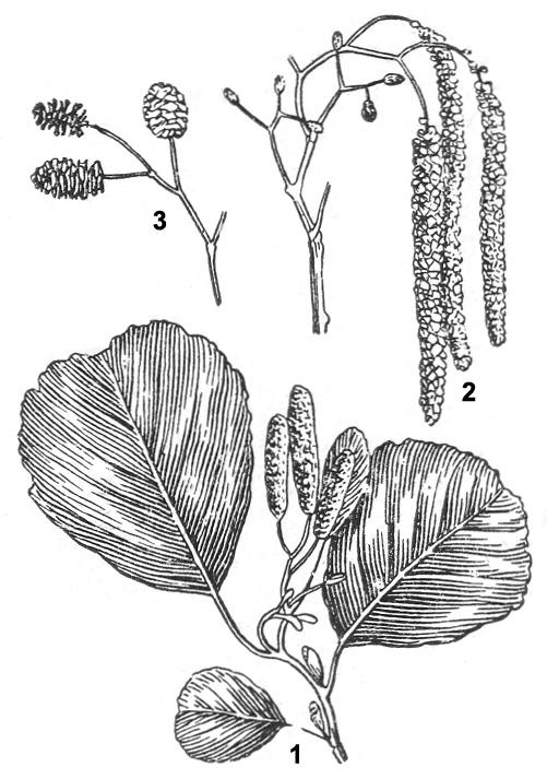 Ольха: 1 — ветка с сережками; 2 — соцветия   (сережки); 3 — соплодия-шишечки.