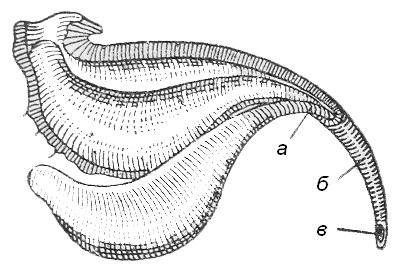 Рис. 1. Ядовитые железы в концевом пузырьке заднебрюшия скорпиона: а- выводной проток железы; б — жало; в — отверстие выводного канала железы.
