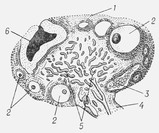 Рис. 1. Яичник взрослой женщины в разрезе (схема): 1 — зародышевый эпителий; 2— фолликулы в различных стадиях созревания; 3 — рубец на месте желтого тела; 4 — ворота яичника; 5 — кровеносные и лимфатич. сосуды мозгового слоя; 6 — желтое тело.