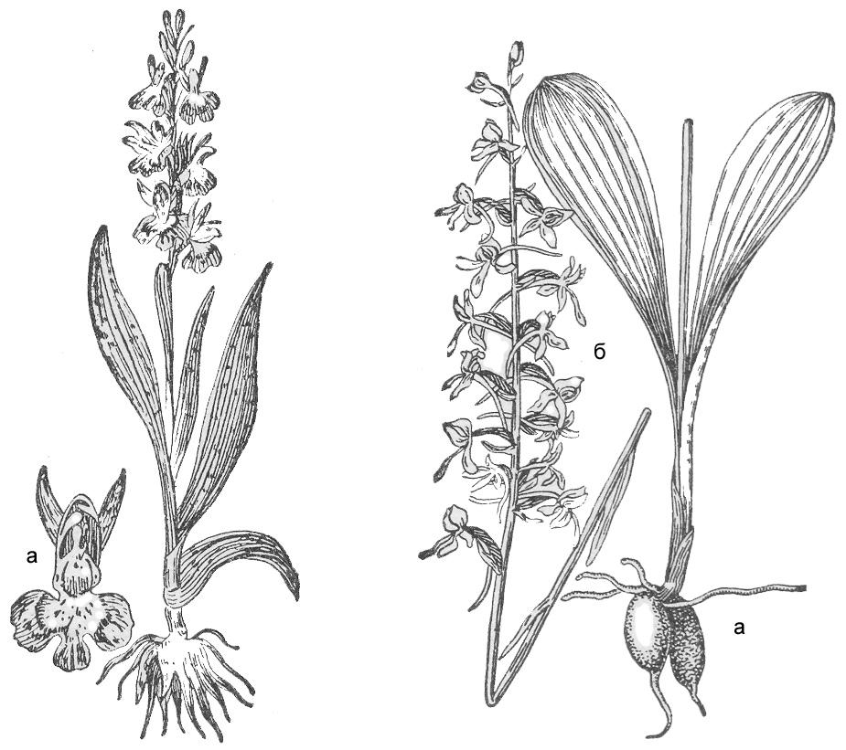Ятрышник   пятнистый («кукушкины слезки»);  а—цветок. Любка двулистная: а — клубневидный корень;  б — кисть цветков.